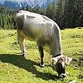 Cow eating in Seebenalm.jpg
