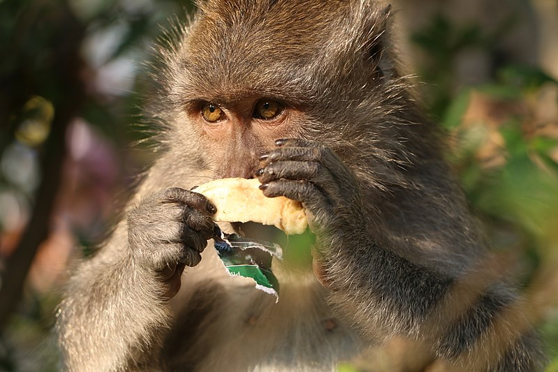 File:Crab eating macaque in Ubud with banana.JPG
