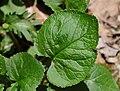 Creeping Phlox Phlox stolonifera Leaf 2650px.jpg