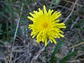 Crepis foetida inflorescence (16).jpg
