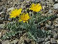 Crepis occidentalis ssp. conjuncta - Flickr - pellaea (1).jpg