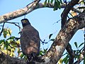 Crested serpent-eagle looking at camera.jpg
