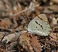 Crimson Tip (Colotis danae)- Male at Hyderabad, AP W IMG 7489.jpg