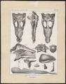 Crocodilus spec. - skeletdelen - 1700-1880 - Print - Iconographia Zoologica - Special Collections University of Amsterdam - UBA01 IZ12200046.tif