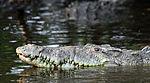 Crocodylus acutus in La Manzanilla.jpg