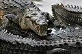 Crocodylus acutus mexico 08.jpg