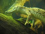 Crocodylus johnsoni 20070619.jpg