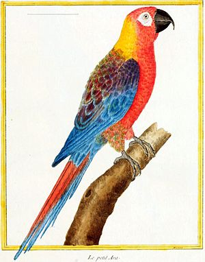 Cuban macaw - 1765 illustration by François-Nicolas Martinet