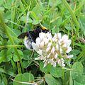 Cuckoo bumblebee (Bombus vestalis?) on clover, Sandy, Bedfordshire (9191752089).jpg