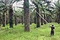 Cueillette de régime de palme 1.jpg