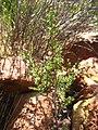 Cupressus forbesii at Coal Canyon-Sierra Peak, Orange County - Flickr - theforestprimeval.jpg