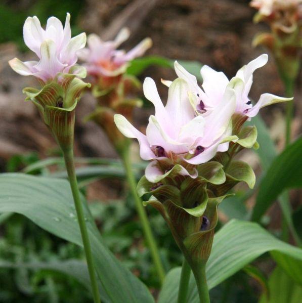 File:Curcuma zedoaria Bluete.jpg
