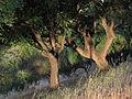 Curico, Condell arboles (12646870674).jpg