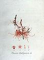 Cuscuta epithymum — Flora Batava — Volume v8.jpg