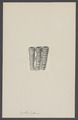 Cyathophyllum spec. - - Print - Iconographia Zoologica - Special Collections University of Amsterdam - UBAINV0274 007 03 0075.tif