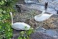 Cygnus olor (Küken) - Arboretum 2011-05-30 19-42-08.JPG