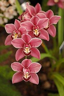 Cymbidium Clarisse Austin 'Best Pink' Flowers 2000px.JPG