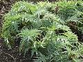 Cynara cardunculus 'Cardoon' (Compositae) plant.jpg