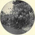 Cyperus papyrus Anapo 1901.jpg