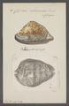 Cypraea stercoraria - - Print - Iconographia Zoologica - Special Collections University of Amsterdam - UBAINV0274 088 02 0032.tif