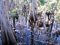 Cypress Trunks Everglades.jpg