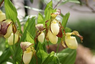 Cypripedium kentuckiense - Flickr 003.jpg