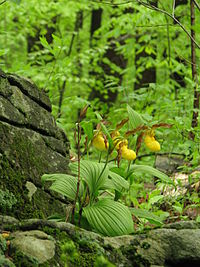 Cypripedium spec. - Flickr. 003.jpg