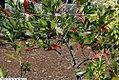 Cyrilla racemiflora 16zz.jpg