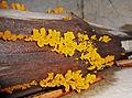 Dacrymyces palmatus 2.JPG