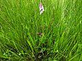 Dactylorhiza fuchsii 21.jpg