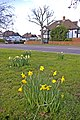 Daffodils on Green in Prince George Avenue, London N14 - geograph.org.uk - 731465.jpg