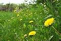 Dandelions (512668370).jpg