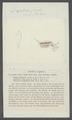 Daphnia pulex - - Print - Iconographia Zoologica - Special Collections University of Amsterdam - UBAINV0274 099 06 0005.tif