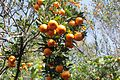 Darjeeling Dabapani Orange Orchard.jpg
