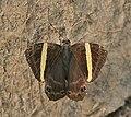 Dark Judy (Abisara fylla) at Samsing, Duars, West Bengal W IMG 6281.jpg