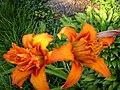 Day lilies - Summer 2004 1.jpg