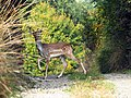 Deer in Palast village.jpg