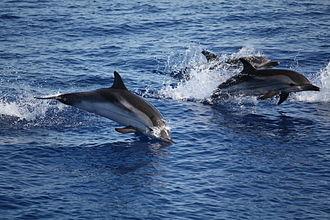 Panarea - Image: Delfini tra panarea e stromboli 2