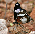 Denaid Eggfly (Hypolimnas misippus) in Hyderabad, AP W IMG 9309.jpg