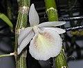 Dendrobium cretaceum -香港沙田洋蘭展 Shatin Orchid Show, Hong Kong- (9240153424).jpg