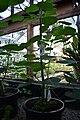 Dendrocnide moroides (Gympie Gympie) 7.jpg