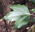 Dendropanax trifidus (leaf s4).jpg