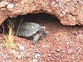 Desert Tortoise (8982674060).jpg