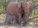 Desert elephant (Loxodonta africana) baby male suckling.jpg