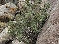 Desert snowberry, Symphoricarpos longiflorus (32719861205).jpg