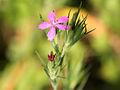 Dianthus armeria 5711.jpg