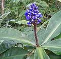 Dichorisandra thyrsiflora BotGardBln07122011C.jpg