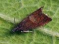 Dichrorampha acuminatana - Листовёртка заострённая (44441708702).jpg