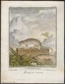 Didelphis murina - 1700-1880 - Print - Iconographia Zoologica - Special Collections University of Amsterdam - UBA01 IZ20300112.tif