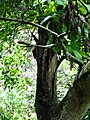 Dinopium benghalense sri lanka 2017-10-24 (3).jpg